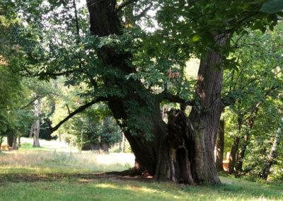 Kastanienbäume in Liebing
